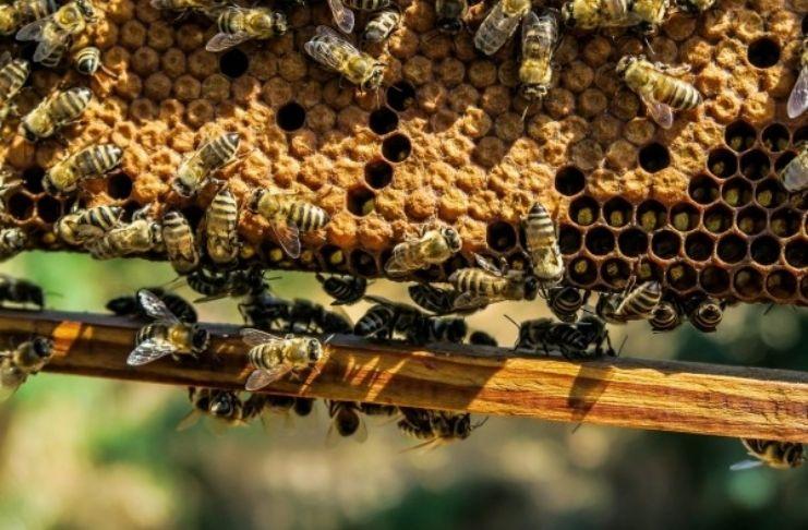 Estudos mostram que molécula em veneno de abelha destrói células de câncer de mama